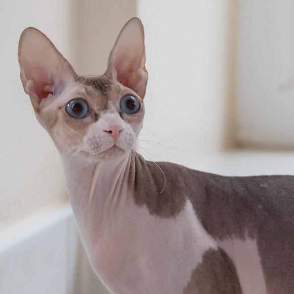 Mačky a kocúry Donsphynx - Mystery Fortuna SK e058ce0632c